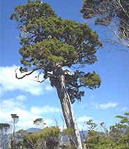 Chile y sus h�bitats: Bosque siempreverde
